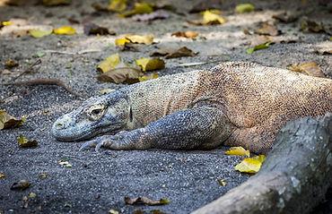 Komodo dragon pixa.jpg