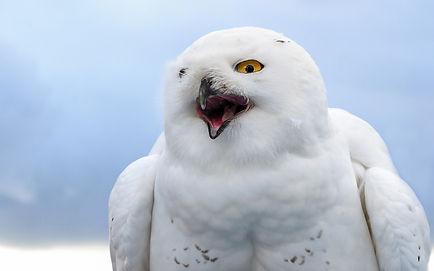 snowy-owl-pixabay (1).jpg