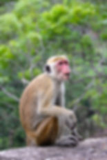 Macac Sri lanka pixa.jpg
