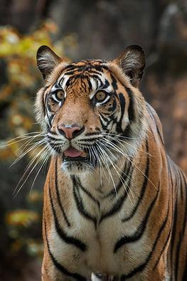bigstock-The-Sumatran-Tiger-Is-A-Tiger--