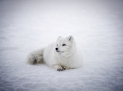 iceland arctic fox.jpg