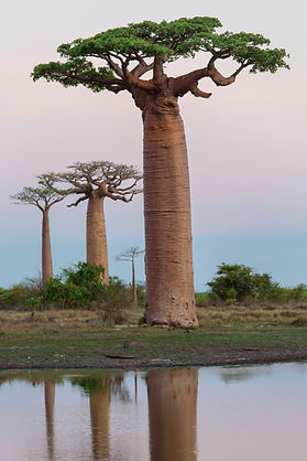 bigstock-Beautiful-Baobab-Trees-At-Suns-