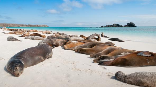 Lazing Seals - Galapagos