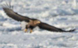 bigstock-White-tailed-Sea-Eagle-hokkaido