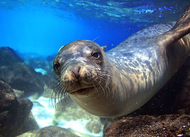 bigstock-Sea-lion-underwater-looking-at-