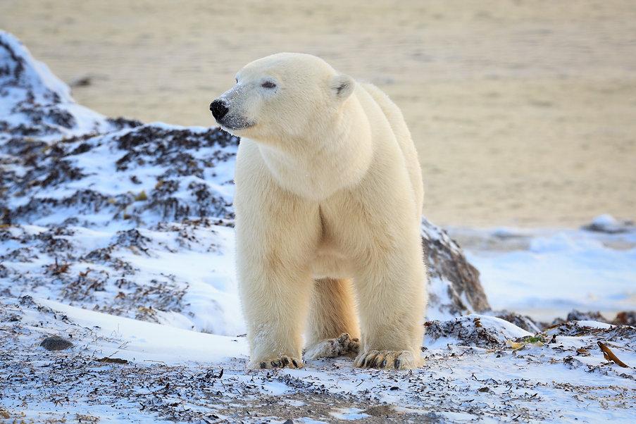 Polar bear arctic.jpeg