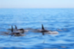 bigstock-Pod-Of-Orca-Killer-Whales-Swim-