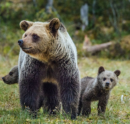 bigstock-She-bear-And-Cubs-Of-Brown-Bea-