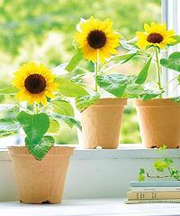 gd435-ecot-sunflower.jpg