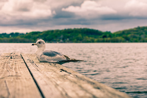 Gull by the Hudson