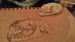 Weasel skull study