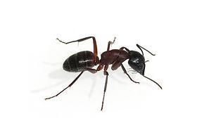 Ameisenbekämpfung durch Fa. Schad-Control
