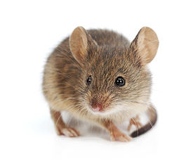 Mäusebekämpfung durch Fa. Schad-Control