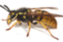 Wespenbekämpfung durch Fa. Schad-Control
