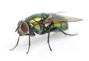 Fliegenbekämpfung durch Fa. Schad-Control