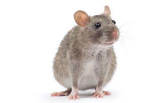 Rattenbekämpfung durch Fa. Schad-Control