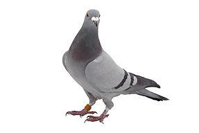 Taubenvergrämung durch Fa. Schad-Control