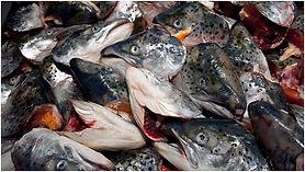 rybi-golovy.jpg