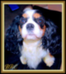 Honors Champion Cavalier King Charles