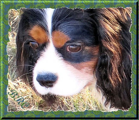 Cavalier King Charles Spaniel breeders