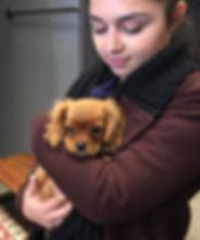 Cuddling ruby Cavalier King Charles Spaniel puppy.