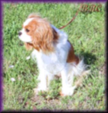Cavalier King Charles Spaniels breeders