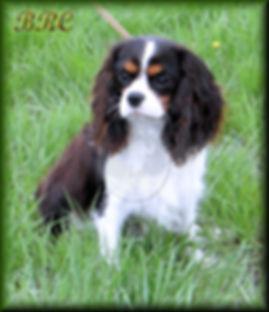 AKC Cavalier King Charles Spaniel breeders