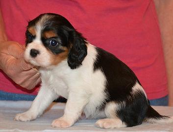 Sapphire - Cavalier King Charles puppy @ 7 weeks.