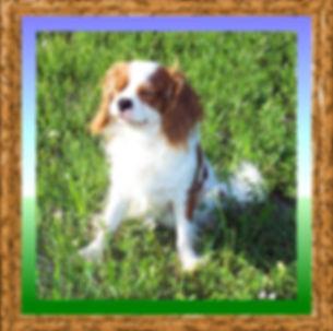 Cavalier King Charles Spaniel AKC breeders