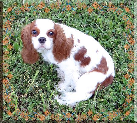 Cavalier King Charles Spaniel breeder Jaycee
