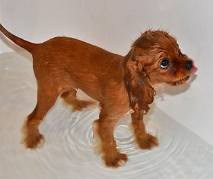 Bath time for ruby Cavalier King Charles Spaniel puppy.