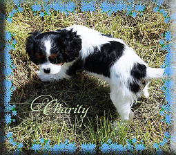 Tricolour Cavalier King Charles Puppy