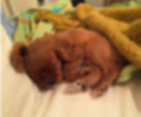 Ruby Cavalier King Charles Spaniel puppy sleeping.