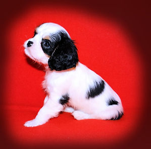 Cavalier King Charles Spaniel puppies tricolor