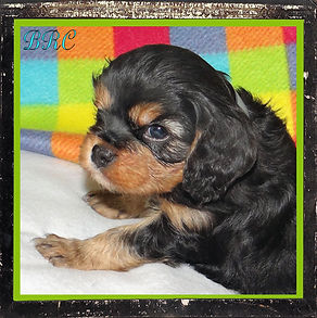 AKC Cavalier King Charles Spaniel puppy