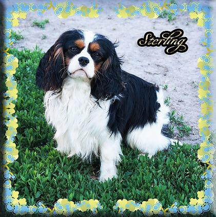Sterling 5 5-24-20.jpgCavalier King Charles Spaniel breeder