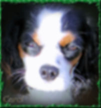 Cavalier King Charles Spanile breeder