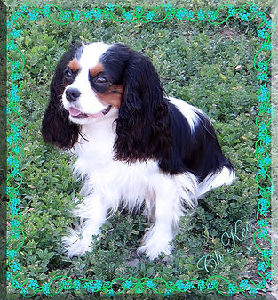 Blue Rose Cavalier King Charles Spaniels