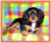 Progeny - Cavalier King Charles Spaniel puppies