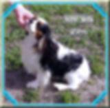 Cavalier King Charles Spaniel breeder
