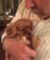 Ruby Cavalier King Charles Spaniel puppy cuddling.