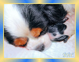 Cavalier King Charles Spaniel breeder and puppy