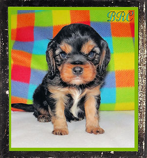 Progeny - Cavalier King Charles Spaniel puppies
