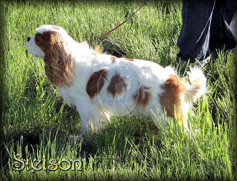 Cavalier King Charles Spaniel breeder Stetson