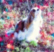 Cavaier King Charles Spaniel breeder