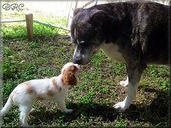 Blenheim Cavalier King Charles Puppy