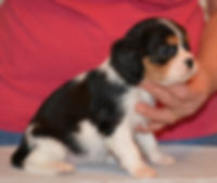 Sapphire - Cavalier King Charles puppy @ 7 weeks.