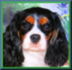 Cavalier King Charles Spaniel breeder Sapphire