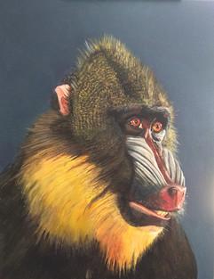 koko the Baboon