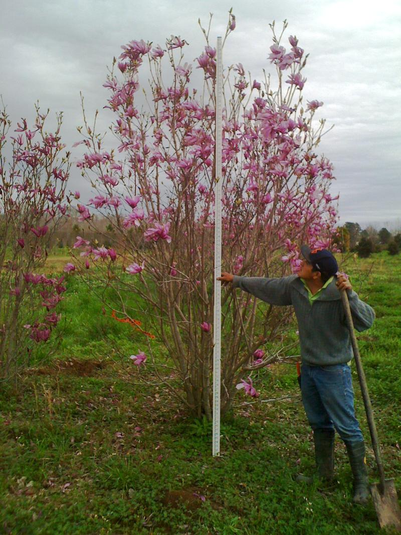 Field grown Japanese Magnolia